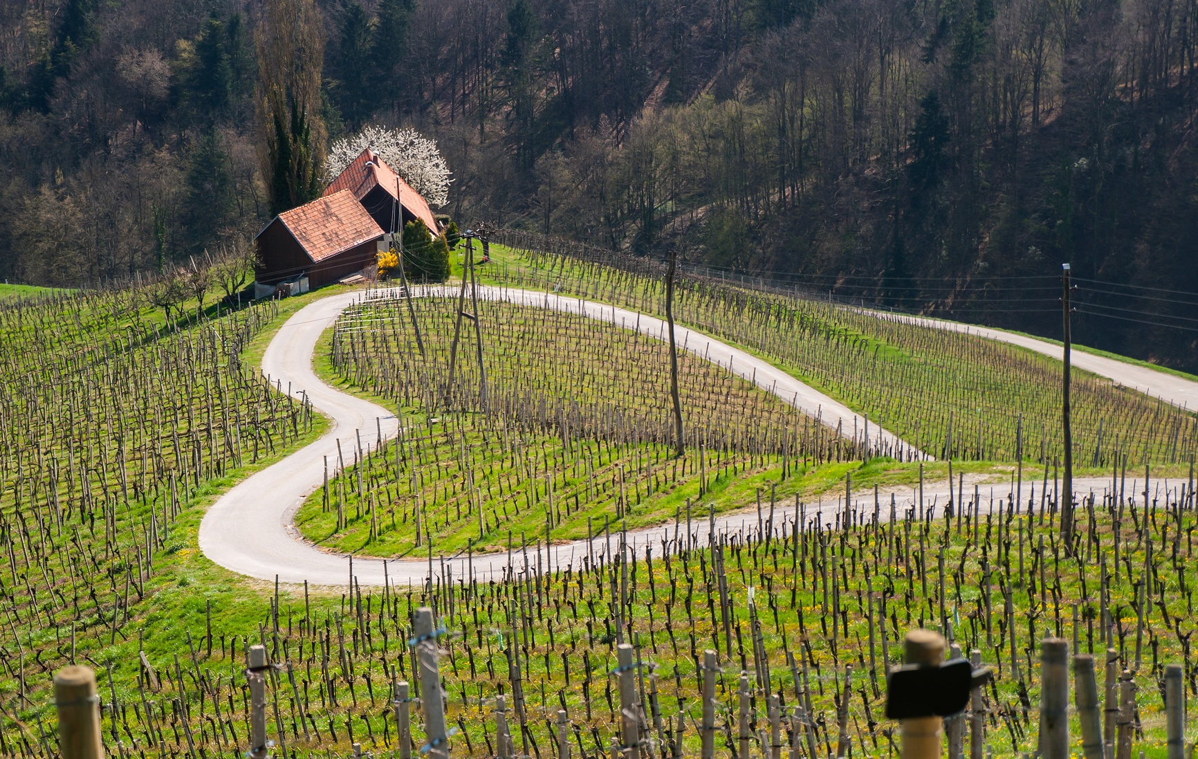 Vineyard slovenia.jpg