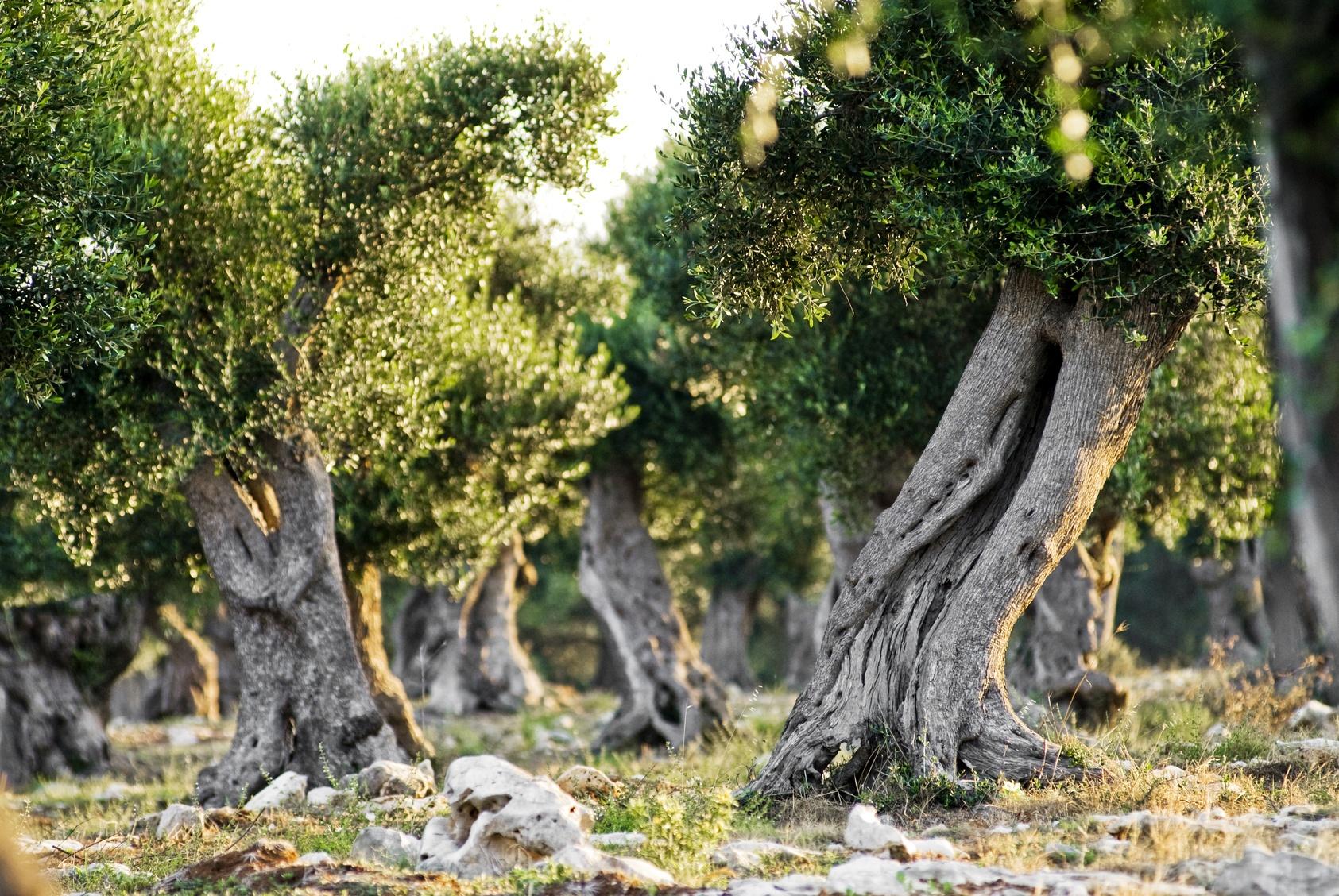 Olive_trees_Puglia.jpg